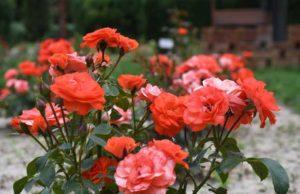 Grădina Botanică din Galați vă invită la colecția de miniroze din cadrul Rosarium-ului