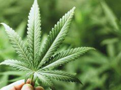 5 mituri despre consumul de marijuana (canabis)