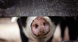 tăierea porcului